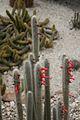Cleistocactus Jujuyensis-Argentina (2) (11983964476).jpg