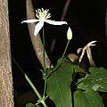 Clematis terniflora (bud).jpg