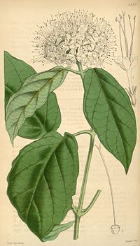 Clerodendrum sinuatum (as Clerodendron) Bot. Mag. 72.4255