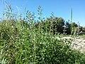 Clinopodium menthifolium sl1.jpg