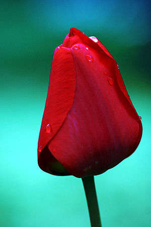 Closed wet tulip.jpg