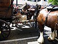 Clydesdales in Timaru - panoramio.jpg