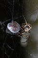 Cobweb Spider (Theridiidae) - MacGregor Point Provincial Park 01.jpg