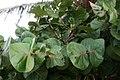 Coccoloba uvifera 2.jpg