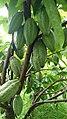 Cocoa tree 05.jpg