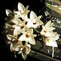 Coeliopsis hyacinthosma Orchi 001.jpg