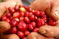 Coffee berries, fresh-001.png