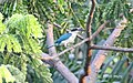 Collared kingfisher (Todiramphus chloris) of South Jakarta, Indonesia.jpg