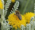 Colletes species (35791081170).jpg