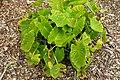 Colocasia esculenta 'Maui Gold' kz1.jpg
