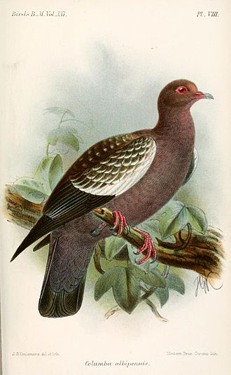 1841 in birding and ornithology - Image: Columba Albipennis Keulemans
