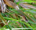 Common Bluetail. Ischnura elegans. Immature 'c' type Female. - Flickr - gailhampshire.jpg