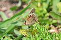 Common Buckeye (Junonia coenia) (14644373000).jpg