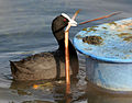 Common Coot (Fulica atra)- carrying nesting material W IMG 8306.jpg