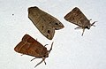 Common Quaker, Twin-spotted Quaker & Small Quaker (4441575619).jpg