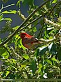 Common Rosefinch (Carpodacus erythrinus) (21487628684).jpg
