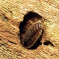 Common Woodlouse - Flickr - treegrow (2).jpg