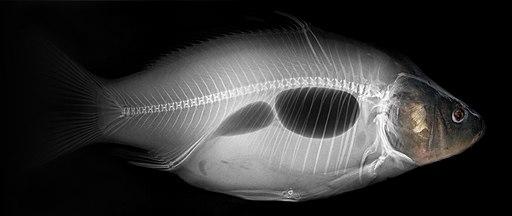 Common carp x-ray