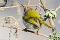 Common tailorbird दमाई चरा, पातसिउने फिष्टो 2.jpg