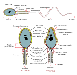 Complete diagram of a human spermatozoa pt.svg