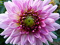 Concours International du Dahlia 2012 Parc Floral Paris 7.JPG