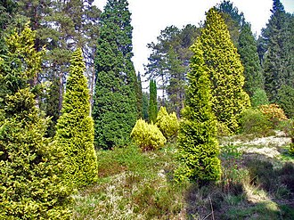 Bedgebury National Pinetum - Conifers at Bedgebury National Pinetum.