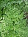 Conium maculatum leaf-5-01-05.jpg