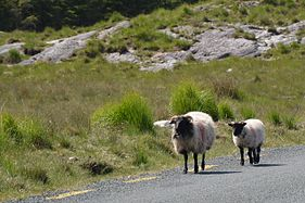 Connemara sheeps.jpg