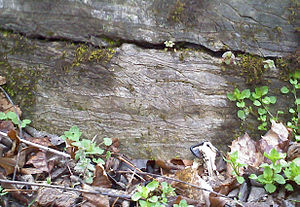 Conococheague Formation - Outcrop along Antietam Creek, near Hagerstown.