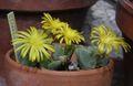 Conophytum immacratum.jpg