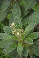 Conservatoire botanique national de Brest-Cylindrocline commersonnii-15 07 04 Triton-02 (20011930298).jpg