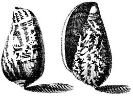 Conus-bullatus-001
