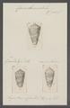 Conus ammiralis - - Print - Iconographia Zoologica - Special Collections University of Amsterdam - UBAINV0274 086 07 0011.tif