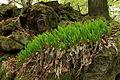 Convallaria majalis in nature reserve Skocicky hrad in spring 2013 (2).JPG