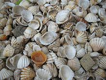 Seashell - Wikipedia