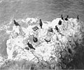 Cormorants nesting on Carroll Island, June 1907 (WASTATE 1384).jpeg
