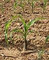 Corn Zea mays Plant 2000px.jpg