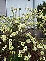 Cornus florida 2010.JPG