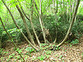 Costigiola-bosco ceduo-4.jpg