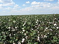 Cotton fields, Tensas Parish, Louisiana, USA 6.jpg
