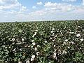 Cotton fields, Tensas Parish, Louisiana, USA 6.jpg