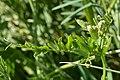 Cow Vetch (Vicia cracca) - Guelph, Ontario 2020-06-07 (02).jpg