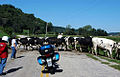 Cows-500.jpg