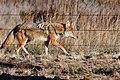 Coyote (22832507808).jpg