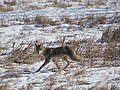 Coyote by Creek at Metzger Farm Open Space, Colorado (24092149075).jpg