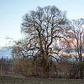 Crack willow Lodz(Poland)(js).01.jpg