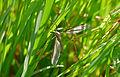 Cranefly (Tipula sp.) (17038755399).jpg