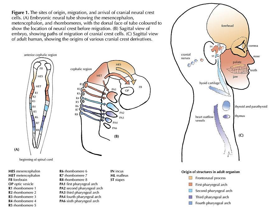 細胞 神経 堤 生物をかたちづくる細胞運動と細胞極性 :