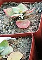 Crassula cordata - Worcester South Africa.jpg