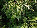 Crateva adansonii (5657323402).jpg